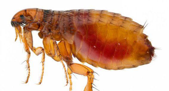 pulga de rata