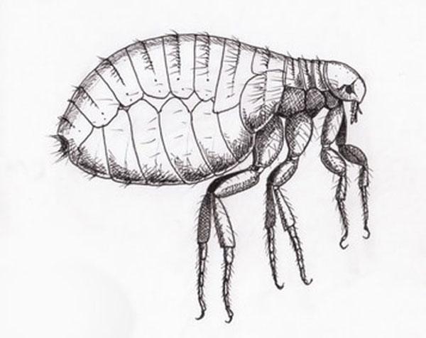 Foto de pulga humana