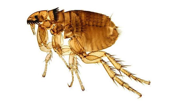 Como es la pulga