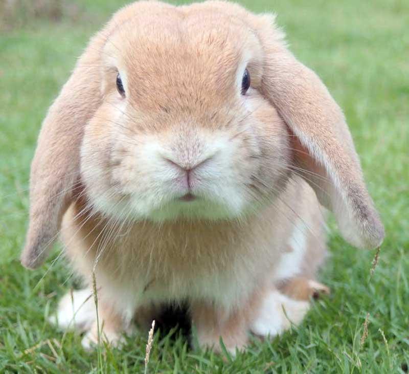 foto de un conejo con pulgas