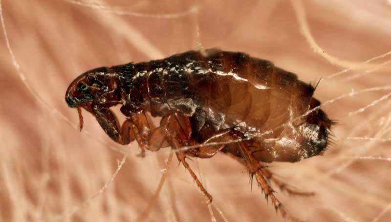 imagen de una pulga