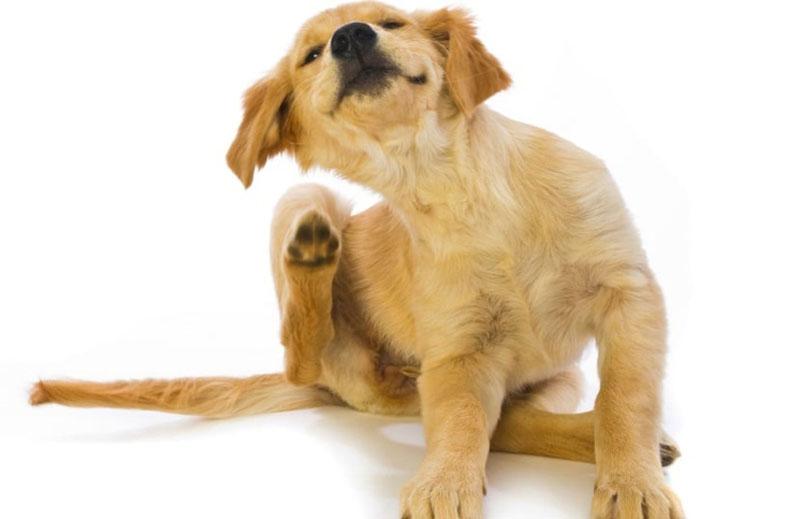 Perro rascándose por la pulga