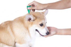 Perro usando pipeta para eliminar pulgas en perros