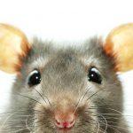 foto de pulga de rata
