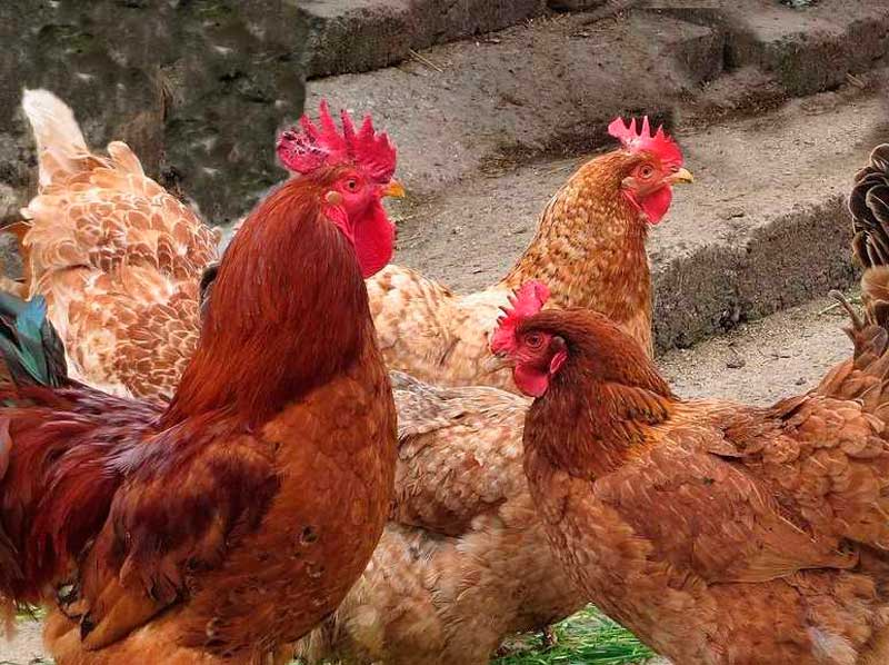 pulga de gallina