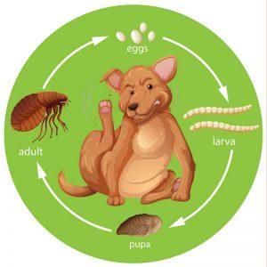 Ciclo de vida de los tipos de pulgas